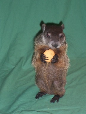 Mona the groundhog as a baby