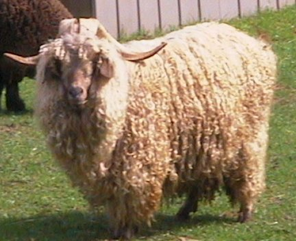 Andy our incredible calm huge angora goat
