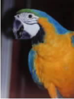 buddy the performing blue and gold macaw