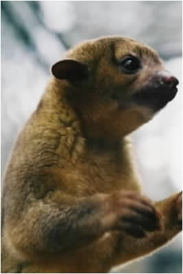 Kinkajou Aka: Honey Bear