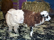 Jacob sheep and babydoll sheep